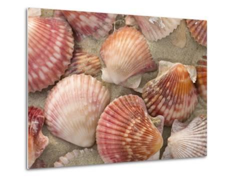 Scallop Shells on a Beach-Ralph Lee Hopkins-Metal Print