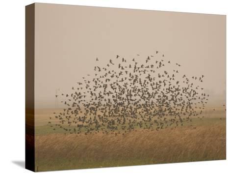 Flock of Birds Swarming a Field in North Dakota-Phil Schermeister-Stretched Canvas Print