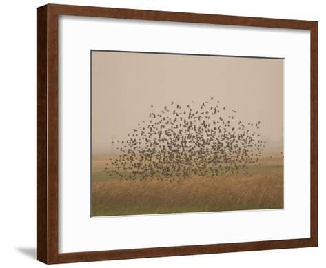 Flock of Birds Swarming a Field in North Dakota-Phil Schermeister-Framed Art Print