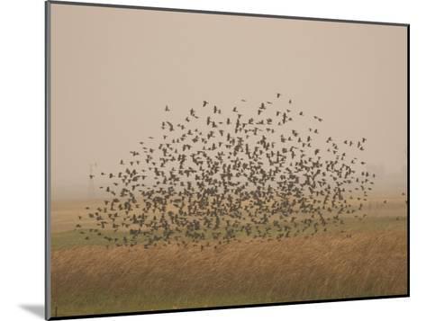 Flock of Birds Swarming a Field in North Dakota-Phil Schermeister-Mounted Photographic Print