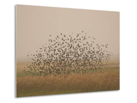 Flock of Birds Swarming a Field in North Dakota-Phil Schermeister-Metal Print