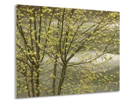 Trees Growing Along the Banks of the Merced River in Late Spring-Phil Schermeister-Metal Print