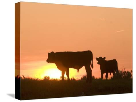 Two Cows Standing Silhouetted Against an Orange Sunset-Phil Schermeister-Stretched Canvas Print