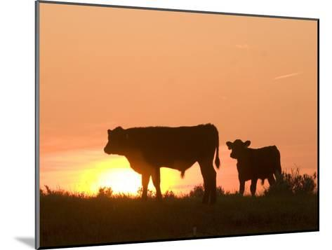 Two Cows Standing Silhouetted Against an Orange Sunset-Phil Schermeister-Mounted Photographic Print