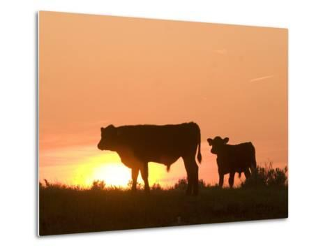 Two Cows Standing Silhouetted Against an Orange Sunset-Phil Schermeister-Metal Print