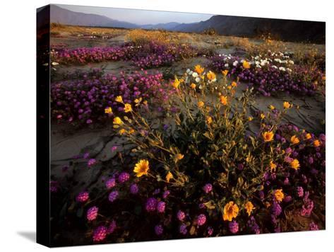 Sunrise on Desert Wildflowers: Sunflowers, Primrose, Sand Verbena-Tim Laman-Stretched Canvas Print