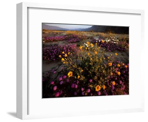 Sunrise on Desert Wildflowers: Sunflowers, Primrose, Sand Verbena-Tim Laman-Framed Art Print