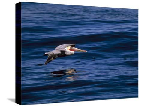 Brown Pelican in Flight over Water-Tim Laman-Stretched Canvas Print