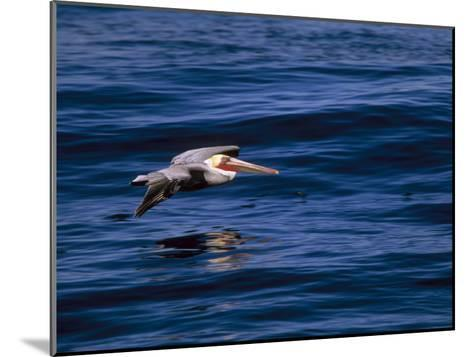 Brown Pelican in Flight over Water-Tim Laman-Mounted Photographic Print