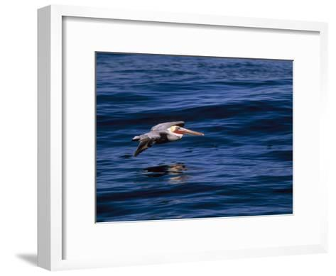 Brown Pelican in Flight over Water-Tim Laman-Framed Art Print