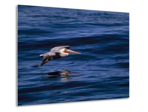 Brown Pelican in Flight over Water-Tim Laman-Metal Print