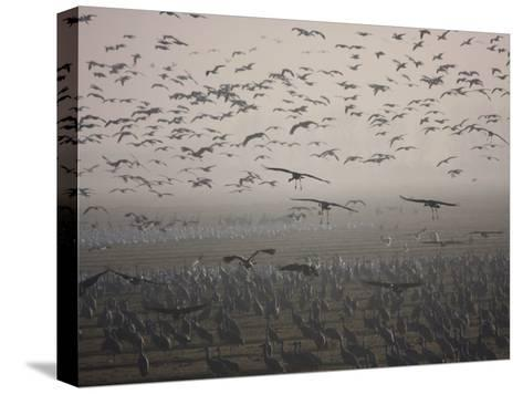 Sandhill Cranes Flying and Resting in Morning Fog-Marc Moritsch-Stretched Canvas Print