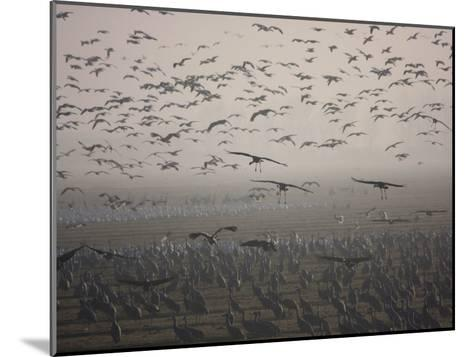 Sandhill Cranes Flying and Resting in Morning Fog-Marc Moritsch-Mounted Photographic Print