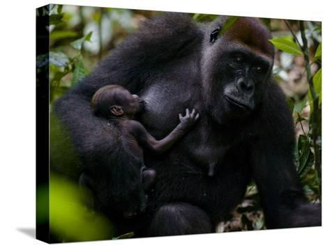 Western Lowland Gorilla Mother Breastfeeding Her Infant-Ian Nichols-Stretched Canvas Print