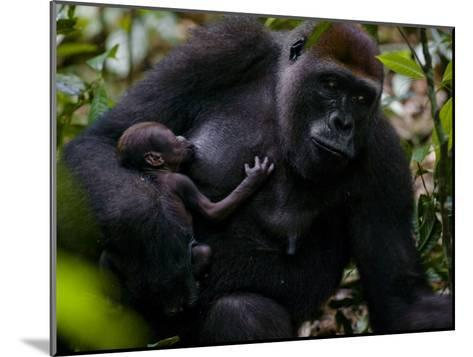 Western Lowland Gorilla Mother Breastfeeding Her Infant-Ian Nichols-Mounted Photographic Print