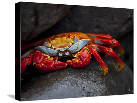 Sally Lightfoot Crab on a Rock in the Galapagos Islands-Michael Melford-Stretched Canvas Print