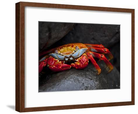 Sally Lightfoot Crab on a Rock in the Galapagos Islands-Michael Melford-Framed Art Print