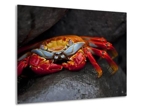 Sally Lightfoot Crab on a Rock in the Galapagos Islands-Michael Melford-Metal Print