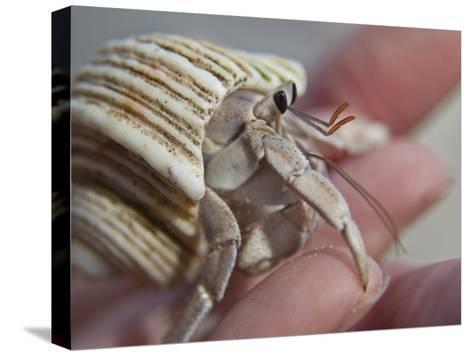 Hand Holding a Hermit Crab-Michael Melford-Stretched Canvas Print