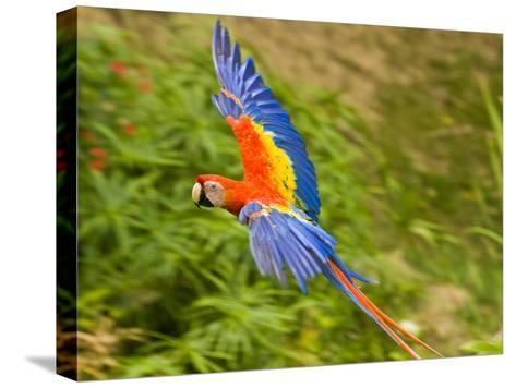 Scarlet Macaw Flying in Gumbo Limbo Park, Roatan-Michael Melford-Stretched Canvas Print