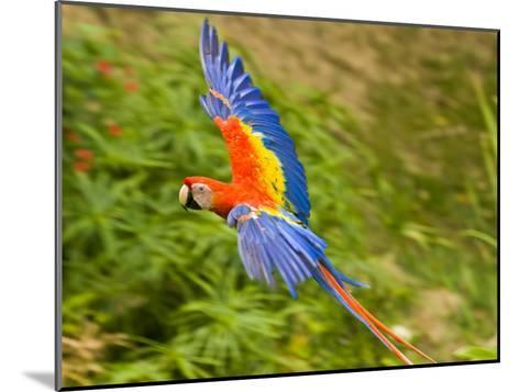 Scarlet Macaw Flying in Gumbo Limbo Park, Roatan-Michael Melford-Mounted Photographic Print