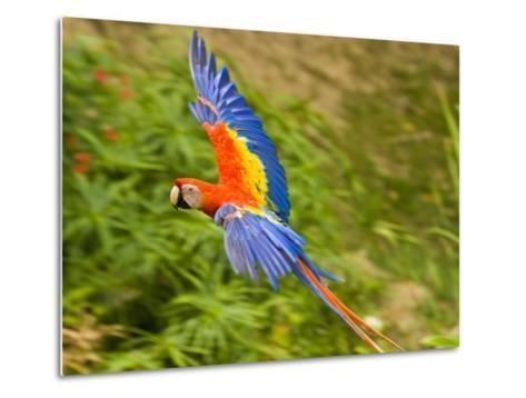 Scarlet Macaw Flying in Gumbo Limbo Park, Roatan-Michael Melford-Metal Print