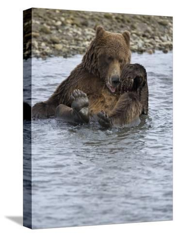 Brown Bear Taking a Bath in a River-Michael Melford-Stretched Canvas Print