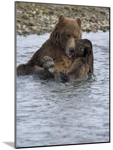 Brown Bear Taking a Bath in a River-Michael Melford-Mounted Photographic Print