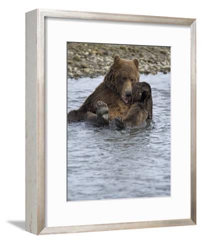 Brown Bear Taking a Bath in a River-Michael Melford-Framed Art Print