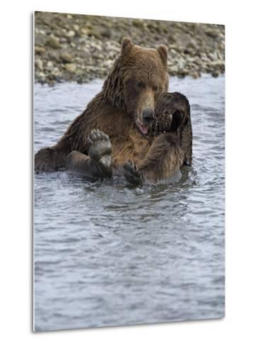 Brown Bear Taking a Bath in a River-Michael Melford-Metal Print