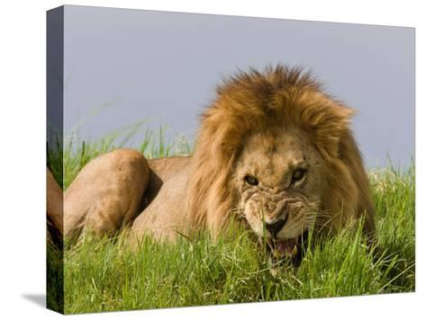 Snarling African Lion Lying in the Grass-Beverly Joubert-Stretched Canvas Print
