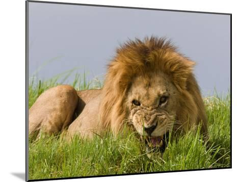 Snarling African Lion Lying in the Grass-Beverly Joubert-Mounted Photographic Print