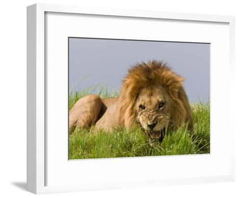 Snarling African Lion Lying in the Grass-Beverly Joubert-Framed Art Print