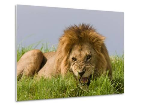 Snarling African Lion Lying in the Grass-Beverly Joubert-Metal Print