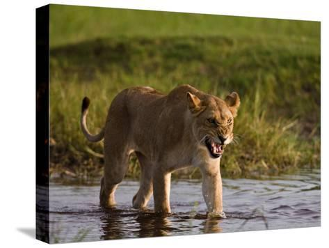 Female African Lioness Walking Through Water and Snarling-Beverly Joubert-Stretched Canvas Print