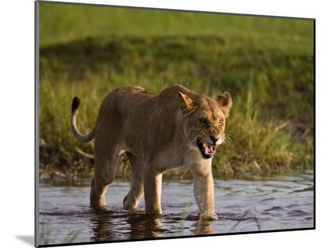 Female African Lioness Walking Through Water and Snarling-Beverly Joubert-Mounted Photographic Print