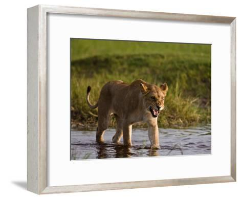 Female African Lioness Walking Through Water and Snarling-Beverly Joubert-Framed Art Print