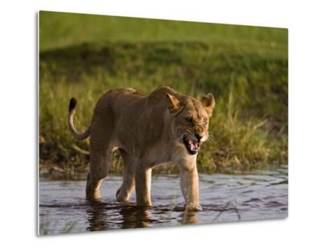 Female African Lioness Walking Through Water and Snarling-Beverly Joubert-Metal Print