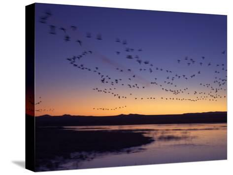 Snow Geese Flying Along the Rio Grande at Sunrise-Ralph Lee Hopkins-Stretched Canvas Print