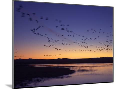 Snow Geese Flying Along the Rio Grande at Sunrise-Ralph Lee Hopkins-Mounted Photographic Print