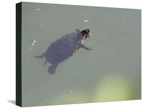 Red-Eared Slider Turtle Swimming in Water-Karine Aigner-Stretched Canvas Print