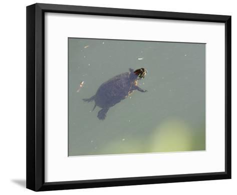 Red-Eared Slider Turtle Swimming in Water-Karine Aigner-Framed Art Print