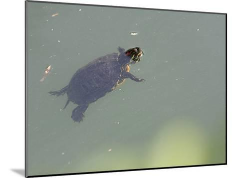 Red-Eared Slider Turtle Swimming in Water-Karine Aigner-Mounted Photographic Print