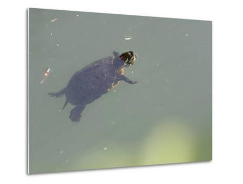 Red-Eared Slider Turtle Swimming in Water-Karine Aigner-Metal Print