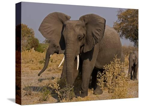 Group of African Elephants, with Calfs-Beverly Joubert-Stretched Canvas Print