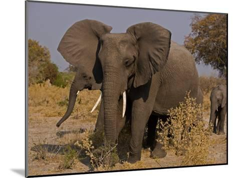 Group of African Elephants, with Calfs-Beverly Joubert-Mounted Photographic Print