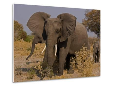 Group of African Elephants, with Calfs-Beverly Joubert-Metal Print
