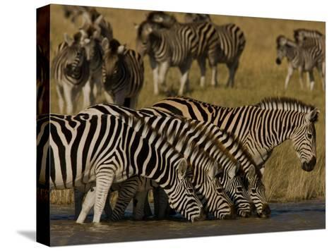Herd of Burchell's Zebras Drinking at a Watering Hole-Beverly Joubert-Stretched Canvas Print