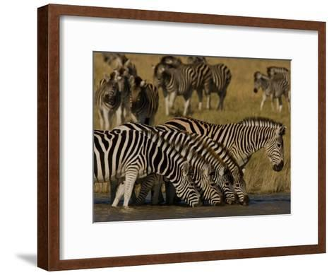 Herd of Burchell's Zebras Drinking at a Watering Hole-Beverly Joubert-Framed Art Print