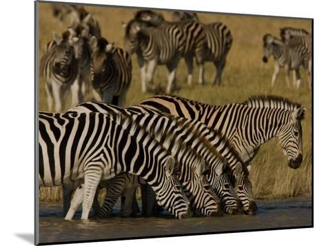 Herd of Burchell's Zebras Drinking at a Watering Hole-Beverly Joubert-Mounted Photographic Print